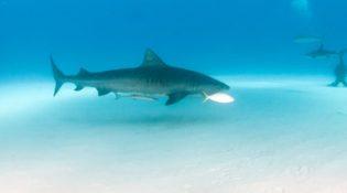 Fuvahmulah: World of the Tiger Shark
