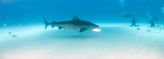 Fuvahmulah: World of the Tiger Shark
