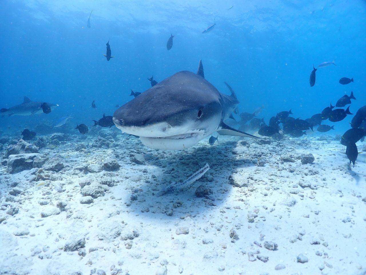 Tiger Shark Foamulah diving in Maldives