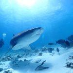 Tiger Shark Foamulah Dive Maldives