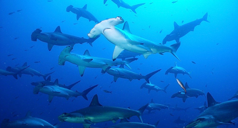 Scalloped Hammerheads Maldives