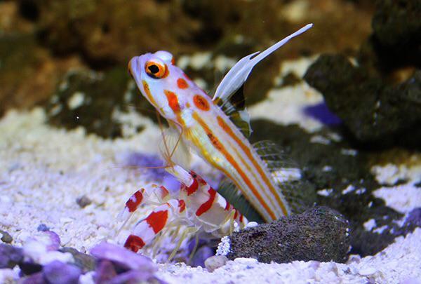 Goby & Pistol Shrimp