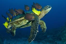 Green Sea Turtles and Surgeonfish