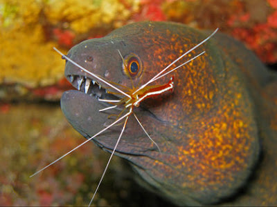 Moray Eel & Cleaner Shrimp