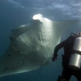 Largest Manta-Ray Gathering in the World is in the Maldives
